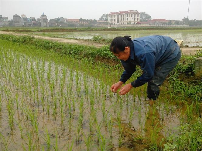 Tìm hiểu về cách trồng cây lúa việt nam