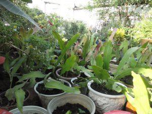 Kỹ thuật trồng và chăm sóc cây quỳnh giao