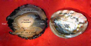 Đặc điểm nội tạng con bào ngư