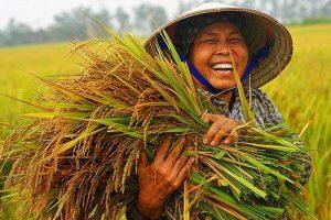 Gía trị của cây lúa Việt Nam