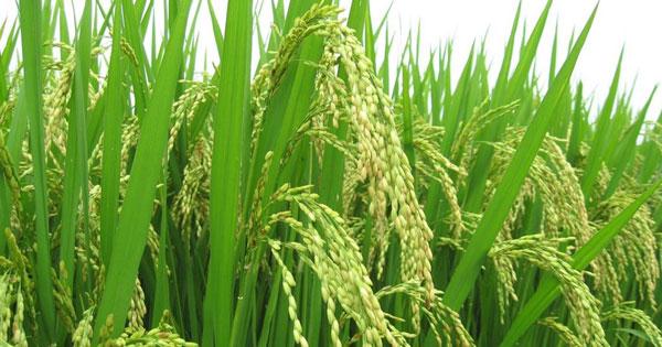 Hình ảnh cây lúa Việt Nam