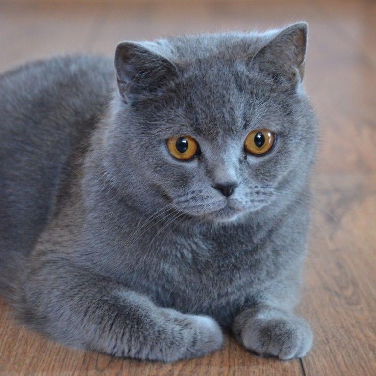 Cách nuôi mèo Anh lông ngắn