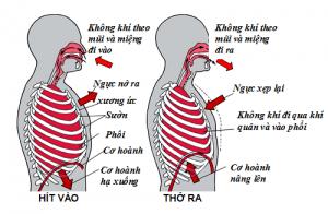 Cơ chế hoạt động hô hấp của cơ hoành