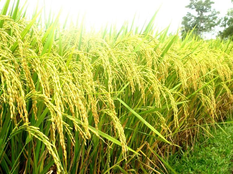 Tìm hiểu về cây lúa Việt Nam sắp thu hoạch