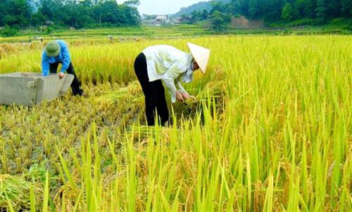 Tìm hiểu về cây lúa việt nam đang thu hoạch
