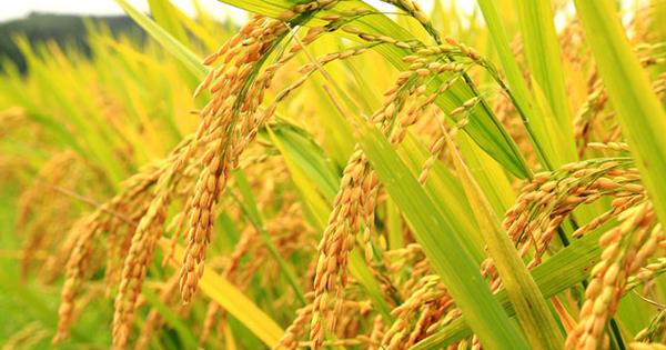 Tìm hiểu về cây lúa Việt Nam
