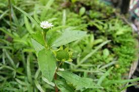 Cây cỏ mực có tác dụng gì ?