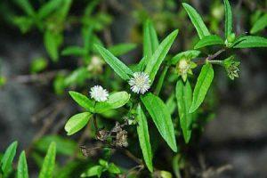 Cây cỏ mực trị bệnh gì ?