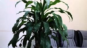 Cây thiết mộc lan là cây gì