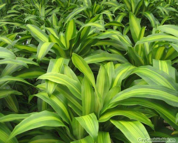 Kỹ thuật trồng thiết mộc lan