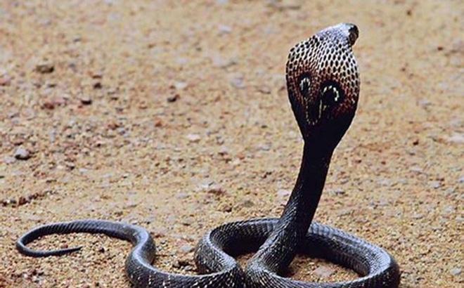 Những loài rắn hổ mang tại Việt Nam