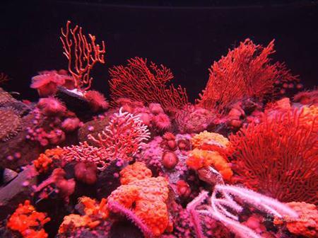 San hô là đông vật hay thực vật